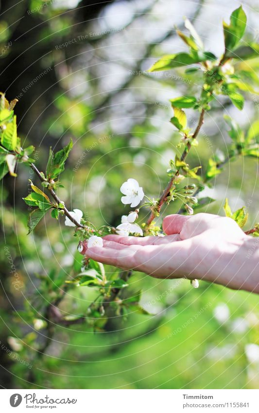Yes, yes... Spring! Feminine Hand 1 Human being Environment Nature Plant Blossom Touch Esthetic Happiness Natural Green White Emotions Joie de vivre (Vitality)
