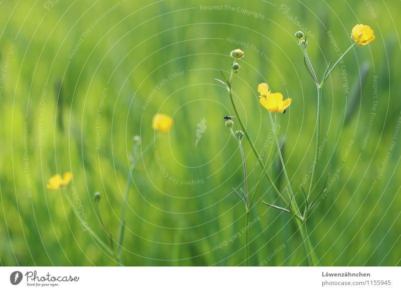 Buttercups in Spring Nature Plant Animal Beautiful weather Flower Grass Blossom Crowfoot Meadow Fly Blossoming Happiness Fresh Small Natural Yellow Green