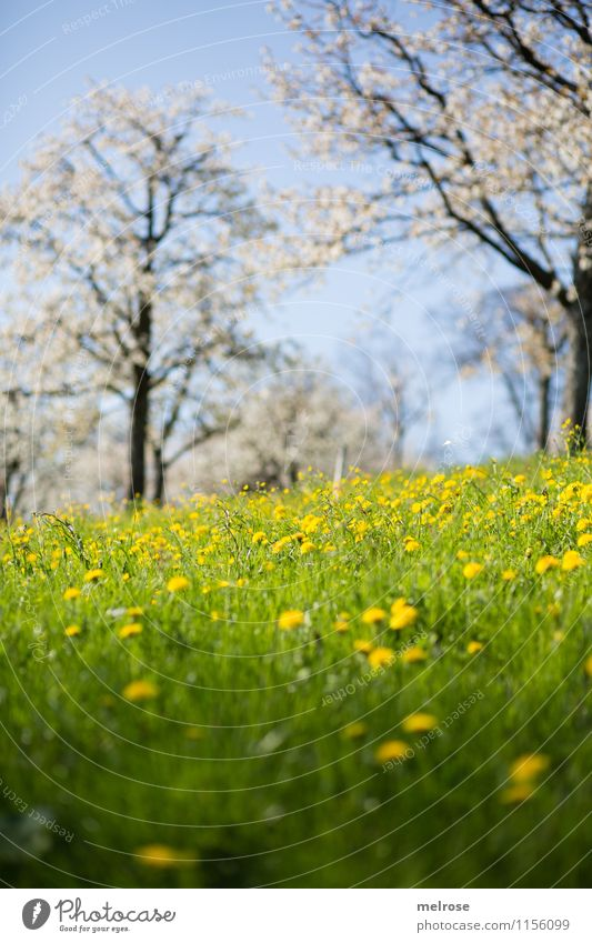 Cherry Blossom and Dandelion II Wellness Well-being Nature Landscape Cloudless sky Spring Beautiful weather Tree Flower Grass Wild plant cherry blossom trees