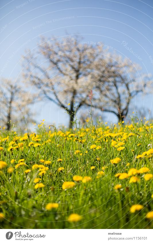 Cherry blossom and dandelion Nature Landscape Plant Cloudless sky Spring Tree Grass Blossom Wild plant Dandelion field Meadow Hill Breathe Blossoming Relaxation