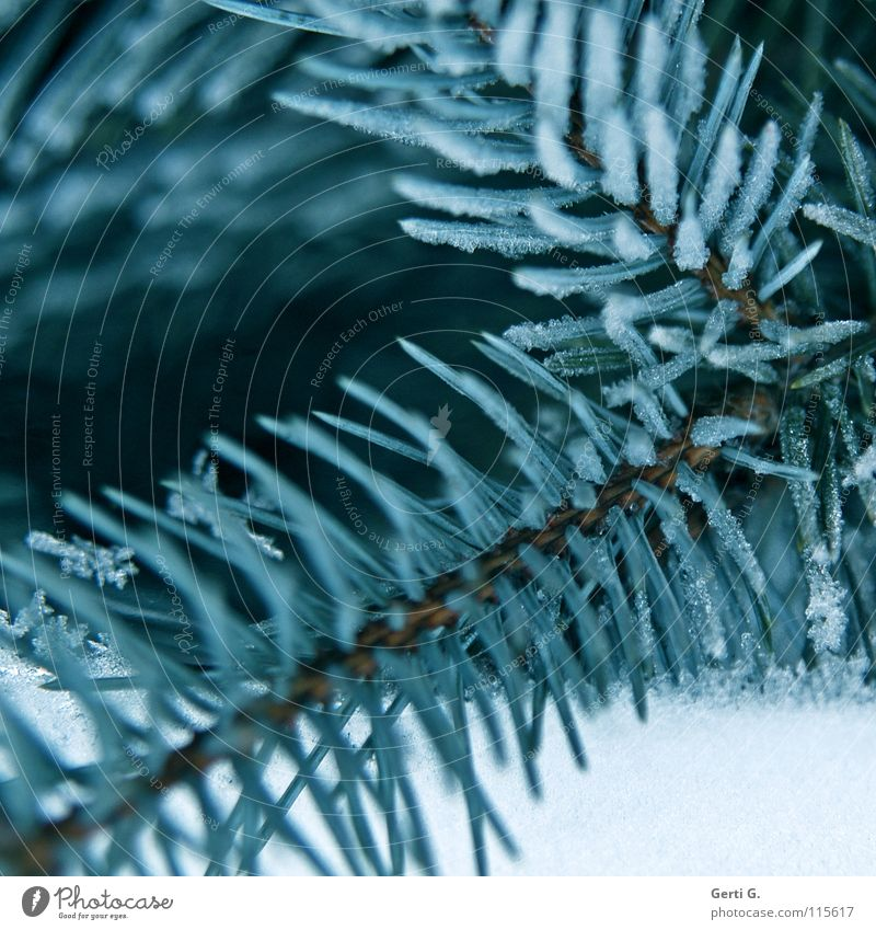 pine blue Cold Winter Ice age Hoar frost Fir tree Frozen Winter festival Christmas tree Fir needle Coniferous trees Frost fir green blue spruce peaks Snow