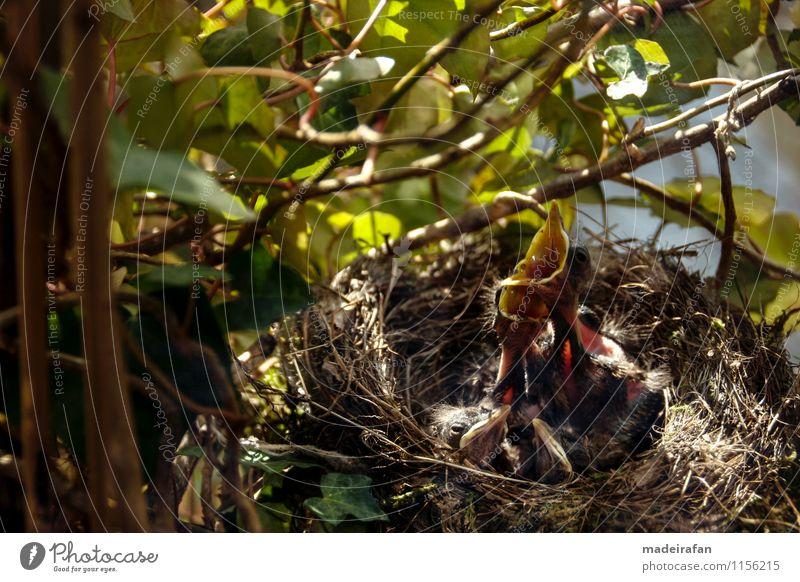Blackbirds-bird-chicks-necks-bird-duo-hungry-bird-chicks_MG_2087 Animal Wild animal Bird 4 Group of animals Baby animal Animal family Observe Discover To feed