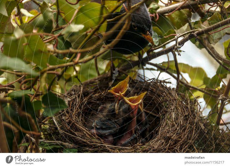 Blackbird-cock-at-feeding-baby-birds_MG_1715 Animal Wild animal Bird Chick Baby animal 4 Group of animals Animal family Feeding Affection Concern Parental care