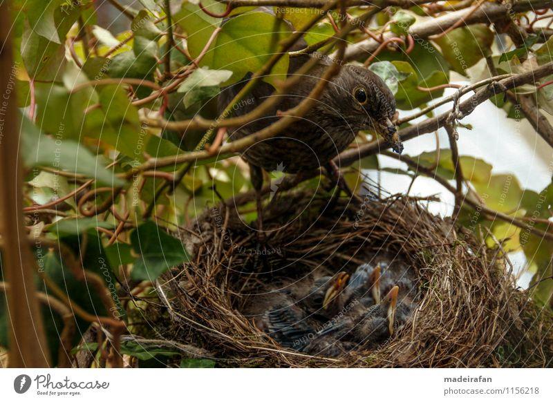 Blackbird-females-over-chick-bag_MG_1748 Animal Wild animal Bird Claw blackbird offspring Group of animals Baby animal Animal family Feeding Offspring