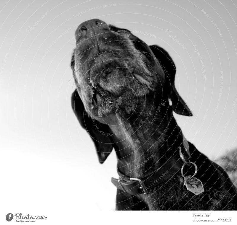 nasally Dog Hound Hunter Nose Neckband Dog tag Air Lop ears Black White Black & white photo Mammal paul German Shorthair Hunting Odor sniff Senses Muzzle