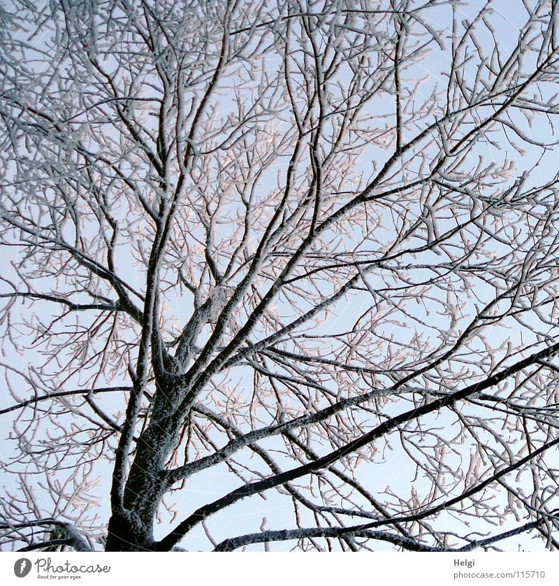 wintry Winter Freeze Frozen Hoar frost Tree Branchage Long Thin Small Large Branched Winter's day Cold December Light White Brown Black Frost Snow Ice Cover