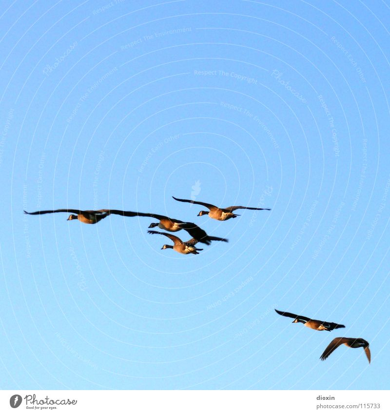 Sky Blue Animal Environment Freedom Friendship Bird Together Flying Wild animal Feather Group of animals Wing Cloudless sky Wanderlust Goose