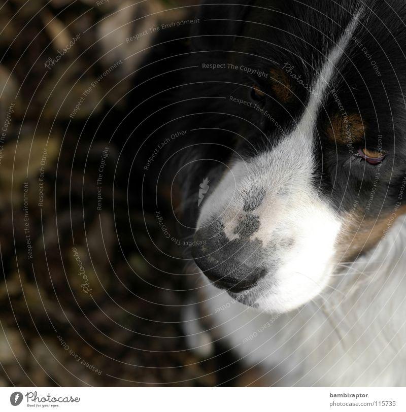 """Bear"" Dog Bernese Mountain Dog Snout Jealousy Mistrust Autumn Leaf Mammal"