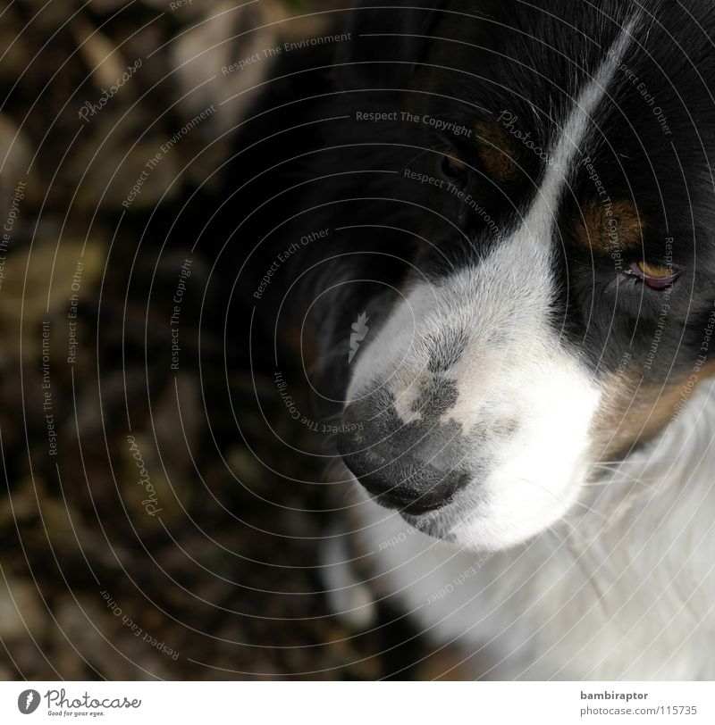 Leaf Autumn Dog Mammal Snout Mistrust Jealousy Bernese Mountain Dog