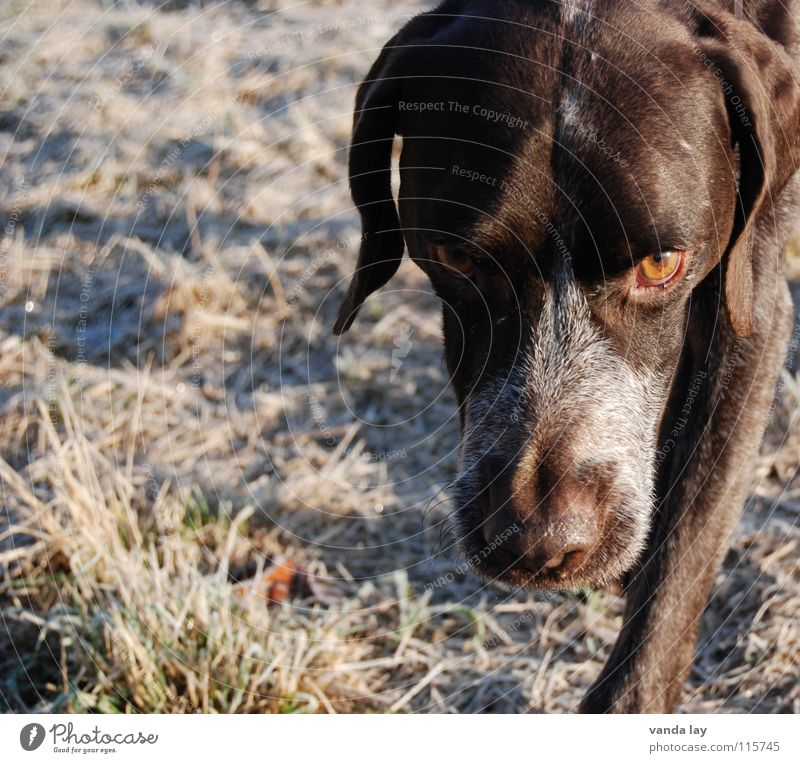 Dog Winter Animal Eyes Meadow Snow Grass Air Brown Weather Walking Nose To go for a walk Trust Hunting Odor