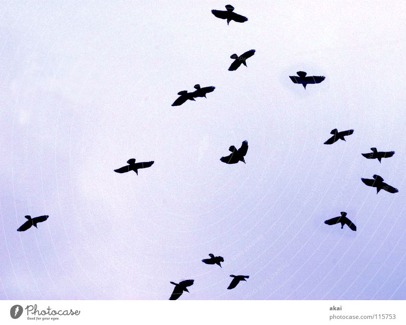 Sky Blue Winter Clouds Air Bird Flying Aviation Communicate Social Goose Warped Cover Formation Flock Raven birds