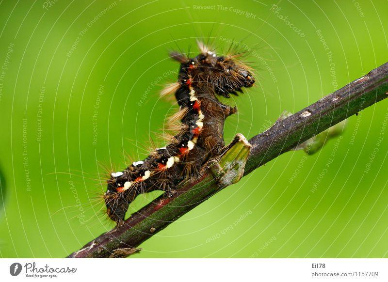 Caterpillar of the barking dock owl Animal Butterfly 1 Virtuous Joie de vivre (Vitality) Spring fever Barn Owl Bristles Hair hairy caterpillar Red White Brown