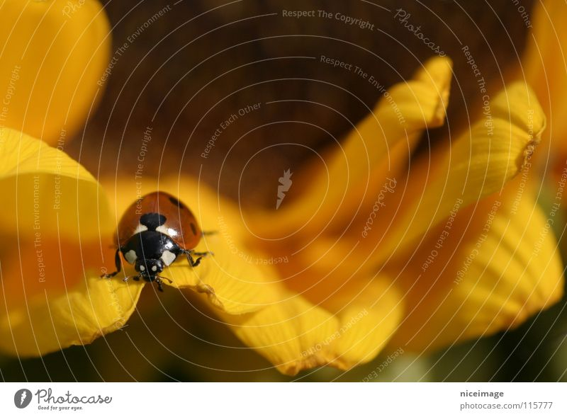 Nature Flower Summer Yellow Blossom Insect Sunflower Ladybird Beetle