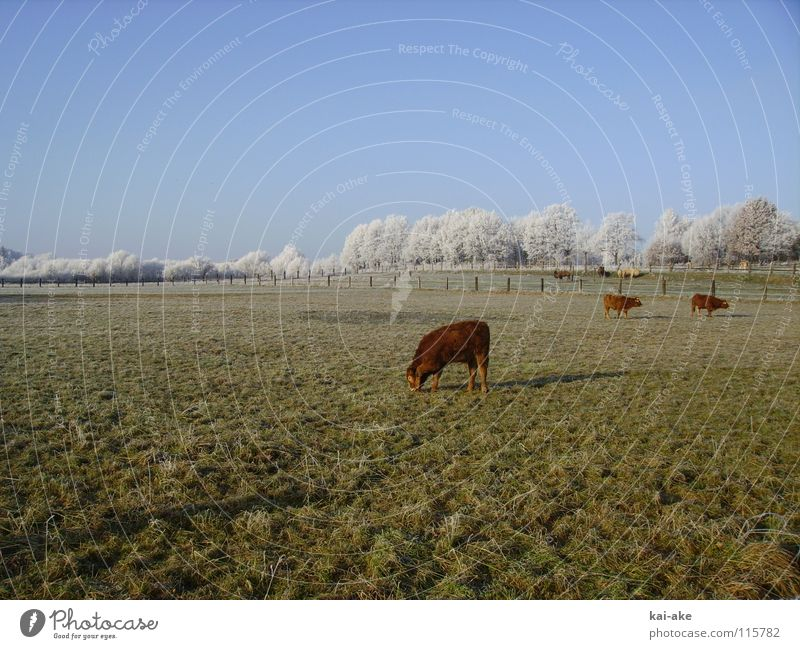 pasture Cow Camel Hoar frost Winter Snowscape Horizon Americas Pasture