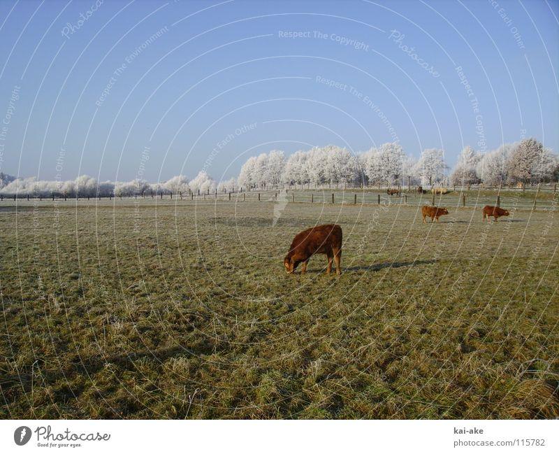 Winter Snow Horizon Americas Cow Pasture Snowscape Hoar frost Camel