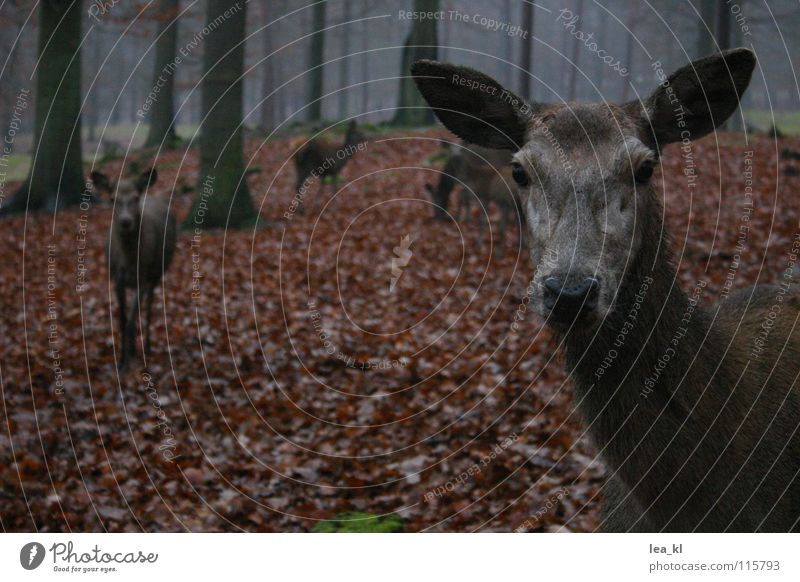 Tree Leaf Animal Forest Autumn Rain Fog Curiosity Wild animal Mammal Deer Roe deer Game park Red deer