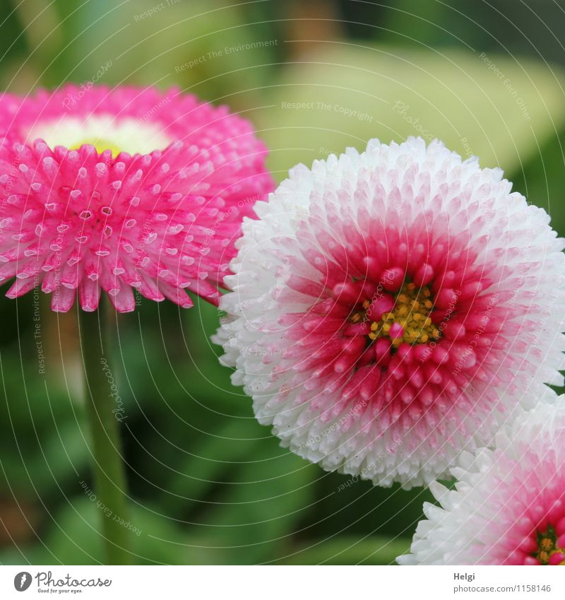 on Mother's Day... Environment Nature Plant Spring Flower Leaf Blossom Daisy Park Blossoming Growth Esthetic Beautiful Small Green Pink White Uniqueness
