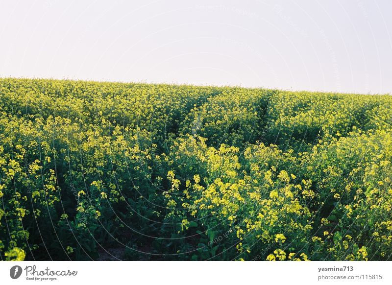 rapsfeld Canola Yellow Flower Skid marks South Africa Far-off places Consistent Peaceful
