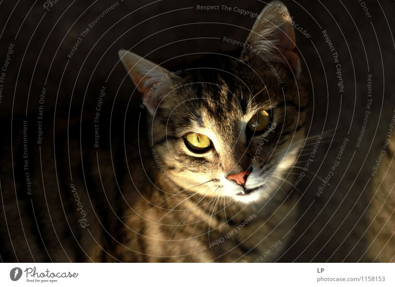 Miau Animal Pet Cat Animal face 1 Observe Illuminate Aggression Famousness Cuddly Near Curiosity Warmth Anger Brown Yellow Silver Contentment Cool (slang) Power