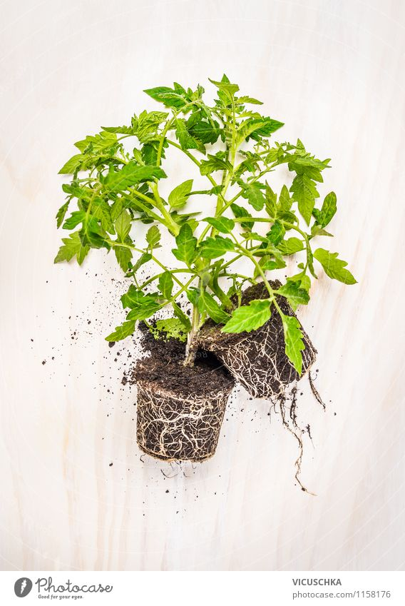 Tomato plants on a white table Style Design Life Summer Garden Table Nature Plant Spring Agricultural crop Tomato plantation Gardening Root Earth