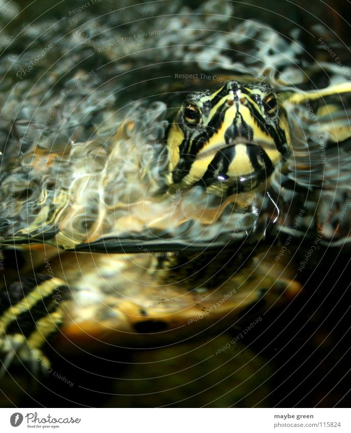 Here I am... Turtle Aquarium Animal Stripe Würzburg Reflection Painted frog Sammy Water Old Armor-plated Swimming & Bathing