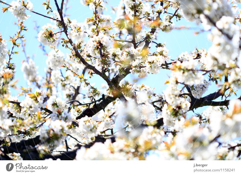 Sky Nature Blue Plant White Blossom Spring Blossoming Beautiful weather Cloudless sky Fragrance Bud Blossom leave Agricultural crop Cherry Cherry blossom
