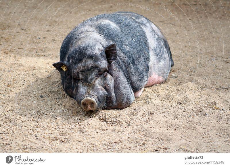 Lazy bastard ;) Environment Nature Animal Summer Beautiful weather Pet Farm animal Zoo Petting zoo Swine Pot-bellied pig Sow 1 Relaxation To enjoy Lie Sleep