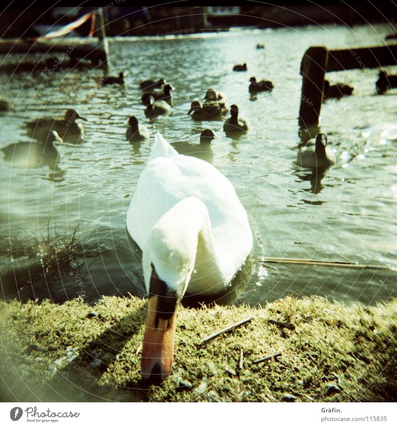 winter swan Winter Swan Frozen Cold Curiosity Bird White Beak Steinhuder Lake Holga Footbridge Wood Grass Aggression Duck Ice Water Feather Lomography chatter