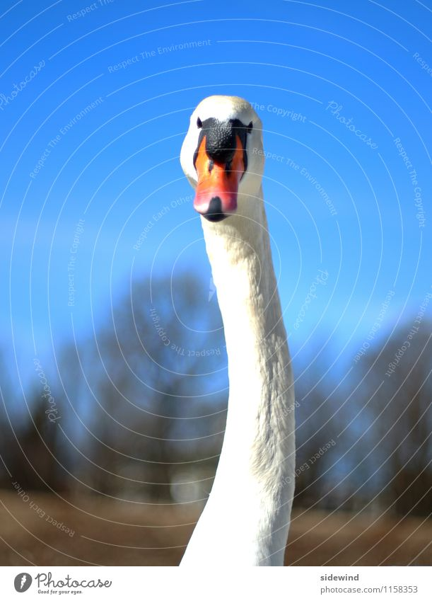 Swan, wry neck Elegant already Trip Environment Nature Beautiful weather Animal Wild animal Animal face 1 Observe Feeding Esthetic Thin great Tall Long Near