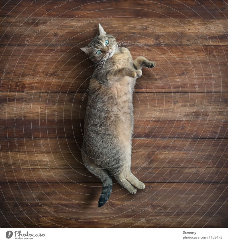 Cat Relaxation Calm Animal Wood Happy Small Lie Contentment Serene Pelt Pet Safety (feeling of) Paw Cuddly Wooden floor