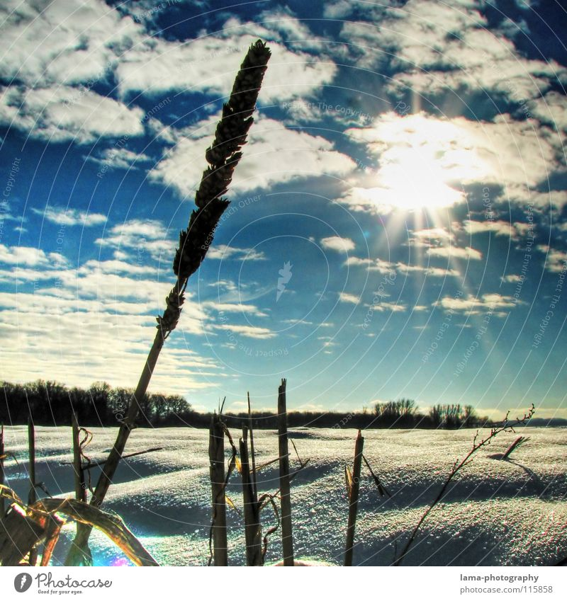 Snow landscape² Winter Snowscape Field Meadow Deep snow Virgin snow Ear of corn Wheat Blade of grass Sun Clouds Snowflake Back-light Dazzle Silhouette