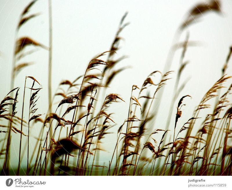 At the Bodden Grass Common Reed Boddenlandscape NP Lake Soft Cold Environment Plant Colour Beach Coast Wind panic risp Pollen Blow Nature