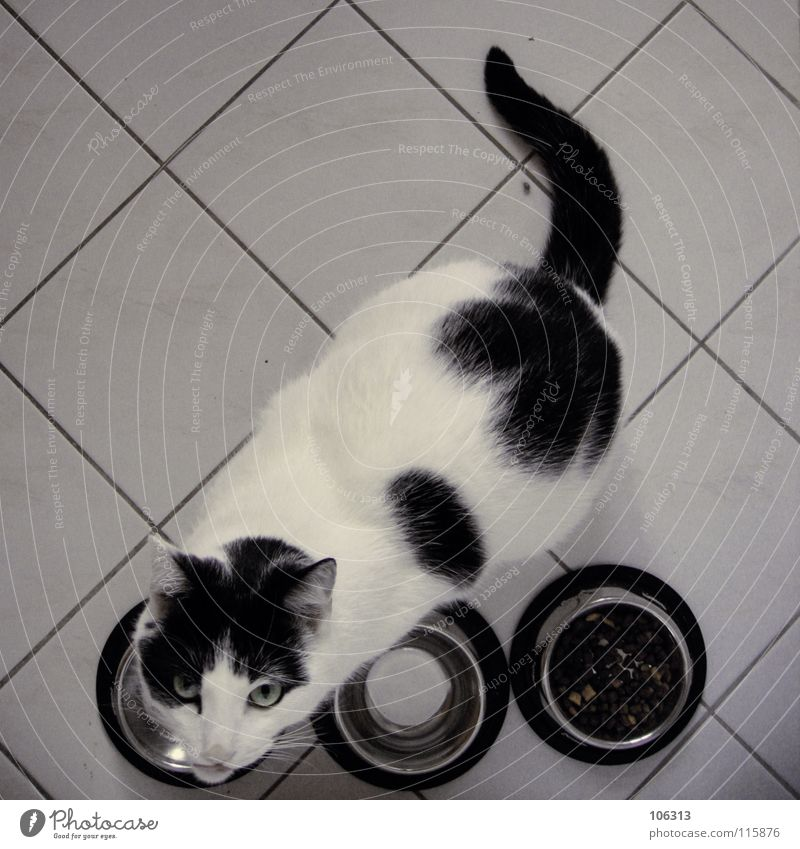 Cat White Animal Calm Black Nutrition Pelt Animal face Overweight Tile Pet Fat To feed Domestic cat Patch Meal