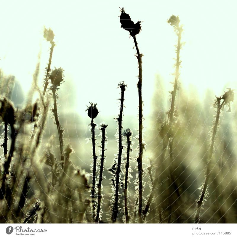 freezing Plant Grass Meadow Thorn Back-light Dark Morning Washed out Area Cold Winter Seasons Fog Nature Seed Sun Lighting Landscape Hoar frost Frost Snow