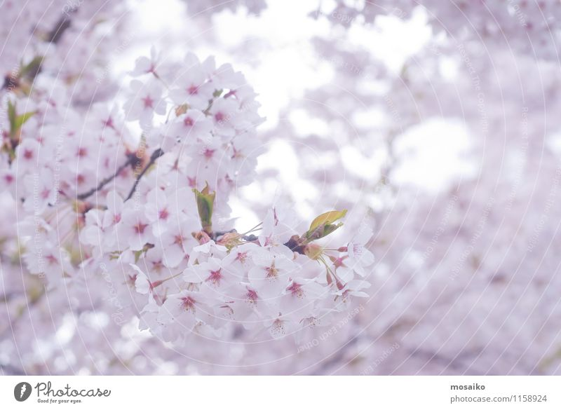 Spring Cherry blossoms, pink flowers Garden Gardening Nature Plant Tree Flower Blossom Blossoming Fresh Natural New Soft Pink White Japan blooming Floral spring