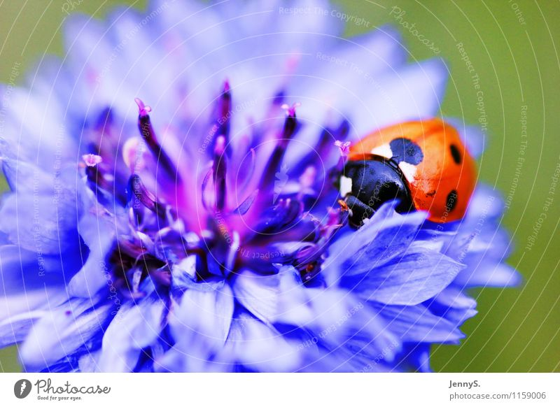 Ladybird on a blue flower Environment Nature Plant Animal Summer Flower Blossom Beetle 1 Blossoming Fragrance Crawl Esthetic Natural Blue Red Black White