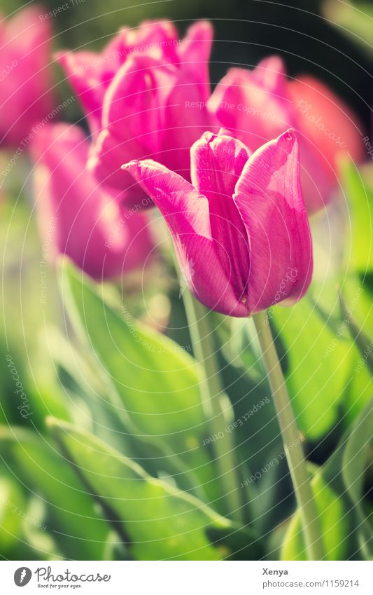 Tulips in sunlight Environment Nature Plant flowers flaked bleed Garden Blossoming green Pink Red Joie de vivre (Vitality) Spring fever spring Colour photo