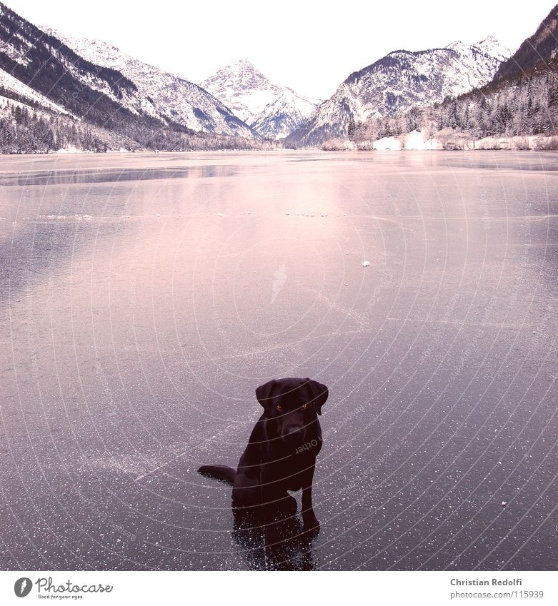 Dog Winter Eyes Snow Mountain Lake Ice Fear Walking To go for a walk Seating Furrow Panic Ice-skating Labrador Ice-skates
