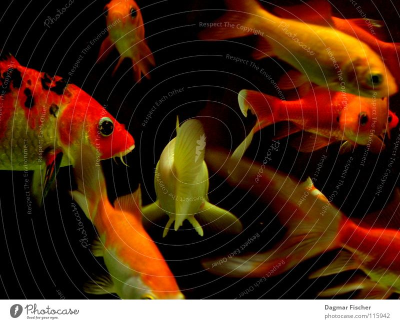 Water Red Ocean Animal Yellow Life Nutrition Lake Friendship Together Orange Wet Gold Fish Multiple River