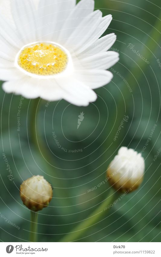 Rainy day in April Harmonious Garden Nature Water Sunlight Beautiful weather Flower Blossom Marguerite Bud Meadow Blossoming Glittering Growth Fresh Wet Natural