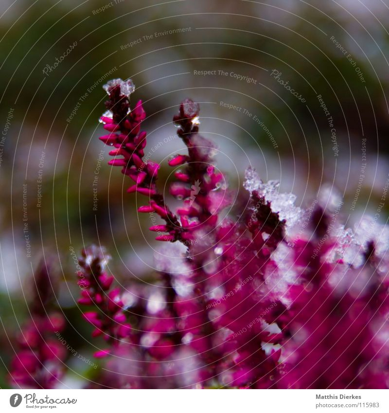 frost Winter Ice Plant Red Pink Background picture Flowerbed Blur Selective Motionless Cemetery Endurance Cold Freeze Icicle December Spring Stalk Blossom
