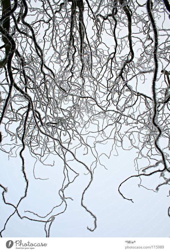 Sky White Tree Winter Black Cold Snow Ice Frost Branch Willow corkscrew