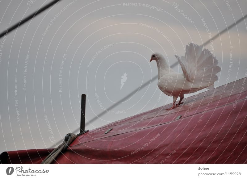 Enchanting dove 2 Circus Wing Tarpaulin Flying Red White Love Colour photo