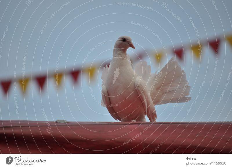 Enchanting dove 1 Circus Event Magician Animal Sky Tent Circus tent Bird Movement Exterior shot