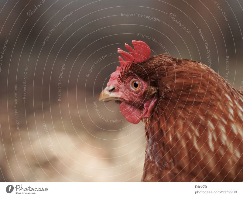 A very sharp look Agriculture Forestry Animal Pet Farm animal Bird Animal face Barn fowl Animal portrait Head Crest Feather 1 Observe Discover Looking Wait