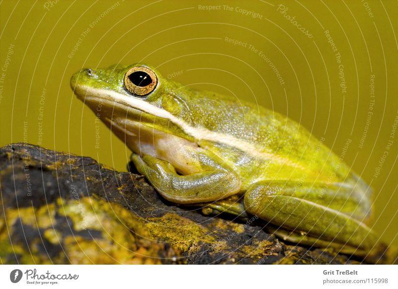 Green Americas Frog Tree frog Amphibian