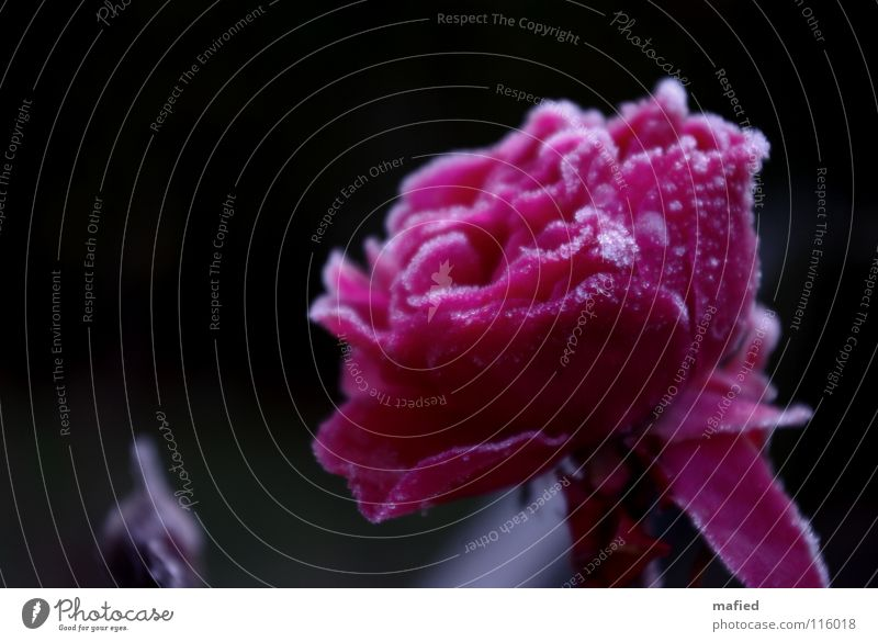 ice rose Beautiful Winter Ice Frost Flower Rose Blossom Cold Pink Hoar frost Freeze to death Frozen Crystal structure ossified Colour photo Exterior shot