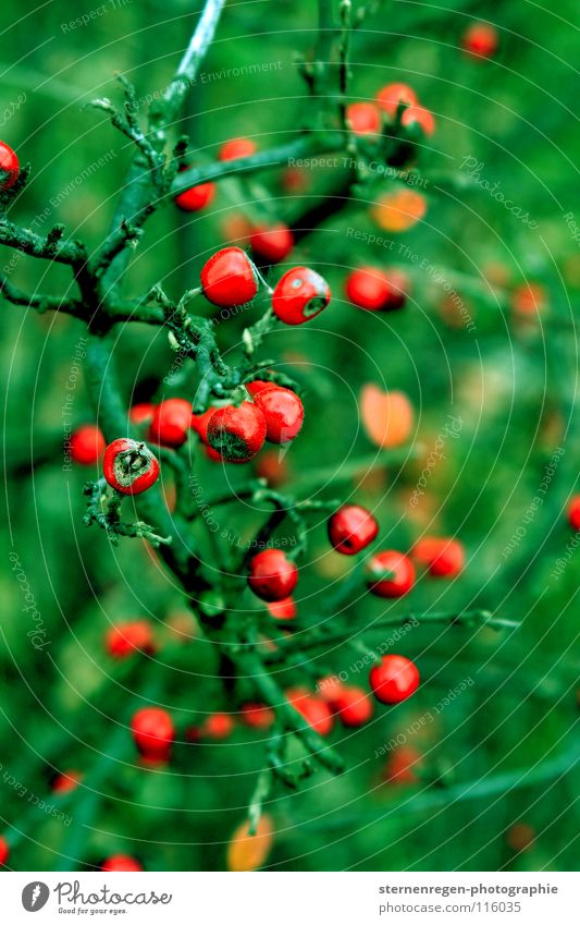 Nature Green Plant Red Winter Colour Autumn Fairy tale Berries Rawanberry