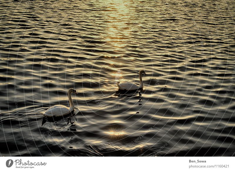 Swans at sunset Wellness Harmonious Contentment Relaxation Calm Meditation Nature Sunrise Sunset Sunlight Spring Summer Beautiful weather Waves Lake Alster