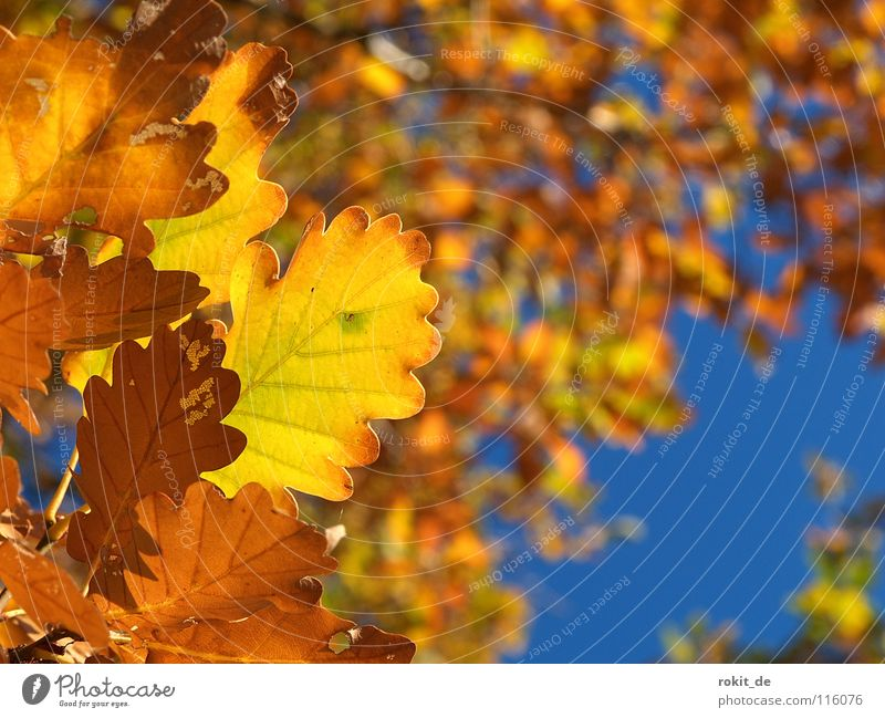 Golden Autumn Leaf Oak tree Tree Deciduous tree To fall Yellow Deciduous forest Rheingau Sky Blue chlorophyl Colour Acorn withered martinsthal